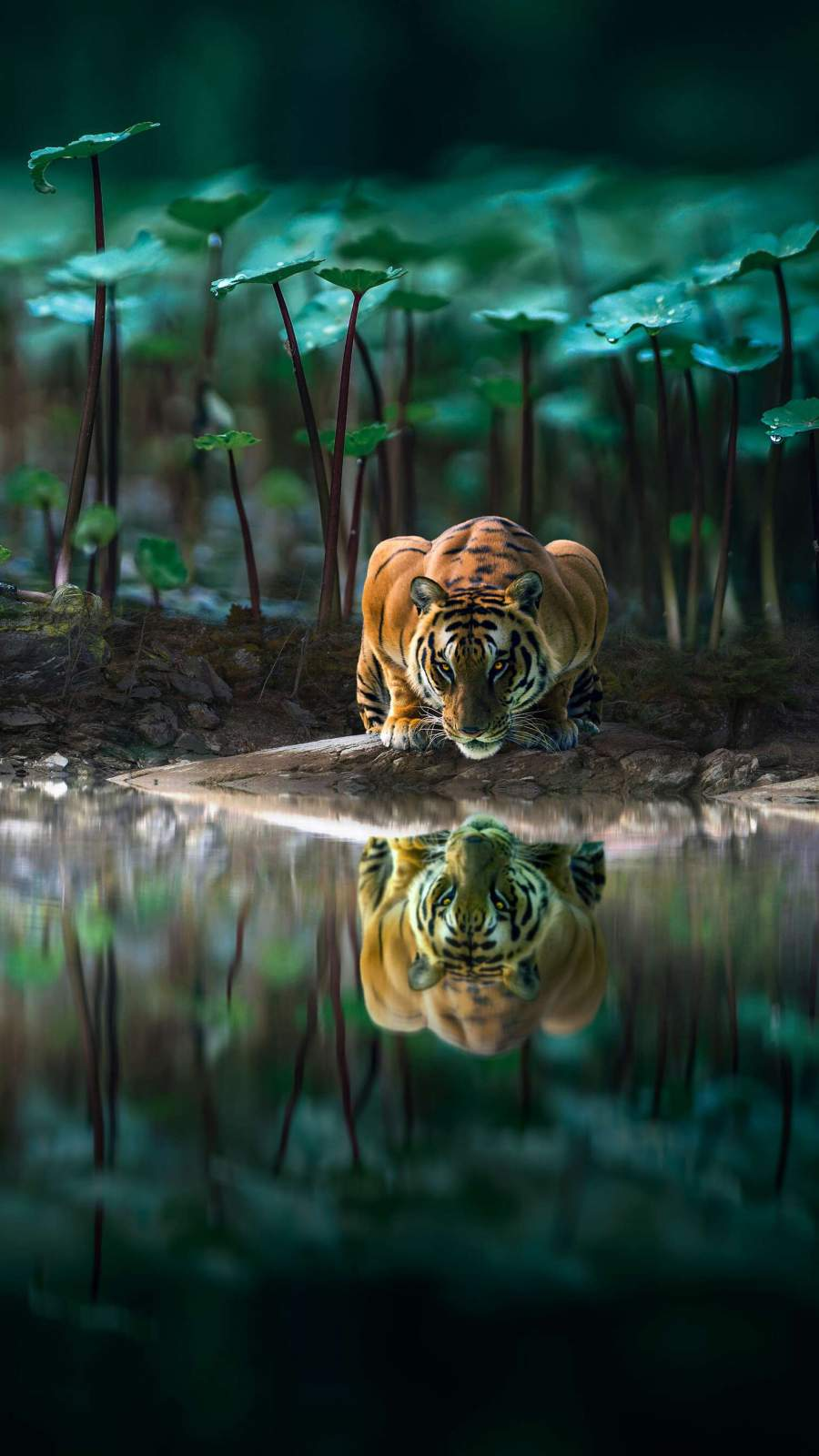 Tiger Reflection in Water iPhone Wallpaper